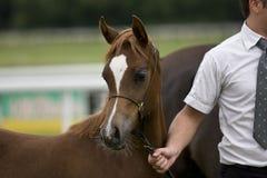 Arabian horse. Beautiful young red Arabian colt Stock Photos