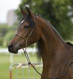 Arabian horse. Beautiful mature brown Arabian horse Royalty Free Stock Images