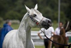 Arabian horse. Beautiful young white Arabian horse Stock Photos
