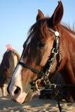 Arabian Horse. An Arabian Horse in the Desert stock photos