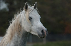 Arabian Horse. A young Arabian Stallion Portrait from the side Royalty Free Stock Photography