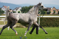 Arabian horse. With his handler Stock Images