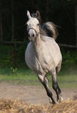 Arabian horse Stock Photo