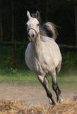 Arabian horse. Running Stock Photo