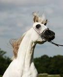 Arabian Horse And Wind Stock Image