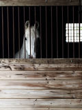 Arabian horse in barn Royalty Free Stock Photography