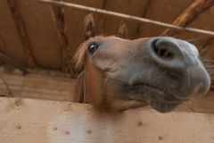 Arabian horse being curious Royalty Free Stock Photo