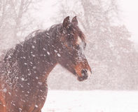 Arabian horse in a blizzard Royalty Free Stock Photo