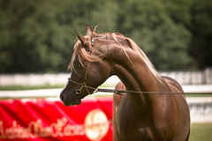 Arabian horse in bridle Stock Images
