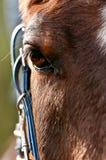 Arabian horse Royalty Free Stock Images