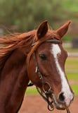 Arabian horse. An arabian horse captured during a training in a horse riding school Stock Photo