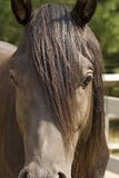 Arabian horse close-up. Close shot of the head of an Arabian horse with mane royalty free stock images