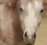 Arabian horse closeup of face Stock Images