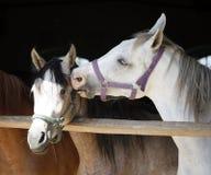 Arabian horse at the corral door Stock Image