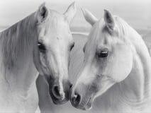 Arabian horses kissing royalty free stock photography