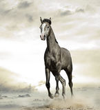 Arabian horse in desert. Young gray arabian colt is galloping in desert Royalty Free Stock Image