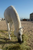 Arabian Horse. An Arabian Horse in doha, Qatar Royalty Free Stock Photos