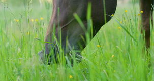 Arabian horse eating grass in a green meadow. Beautiful arabian horse eats grass in a green field. Grazing in nature stock footage