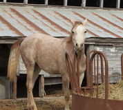 Arabian horse  eating hay on the farm with a barn Stock Image