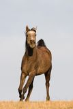 Arabian horse enjoys running on meadow Royalty Free Stock Photos