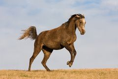 Arabian horse enjoys running on meadow Royalty Free Stock Photography
