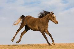 Arabian horse enjoys running on meadow Royalty Free Stock Photo