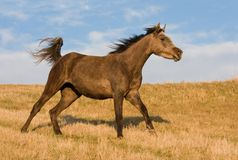 Arabian horse enjoys running on meadow Stock Photo