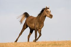 Arabian horse enjoys running on meadow Royalty Free Stock Images