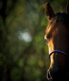 Arabian horse eye Royalty Free Stock Photography
