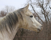 Arabian horse face in profile in winter Stock Photos