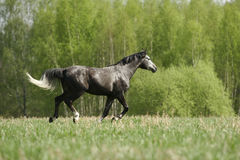 Arabian horse on field. Young purebred arabian stallion galloping through the field Stock Photography