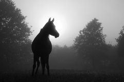 Arabian horse in fog at sunrise Royalty Free Stock Photo