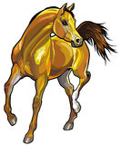 Arabian horse. Front view illustration isolated on white background Royalty Free Stock Image