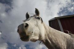 Arabian horse funny point of view Royalty Free Stock Photo