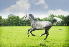 Arabian horse galloping. On bright green field Royalty Free Stock Images
