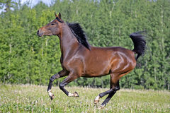 Arabian Horse galloping Stock Photos