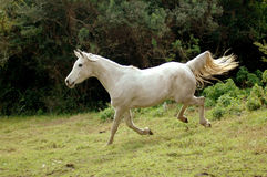 Arabian horse galloping down Stock Image