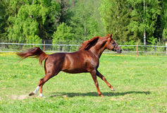 Arabian horse galloping in the field. Young Arabian bay horse in full gallop with blowing tail Stock Image