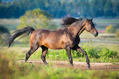 Arabian horse gallops across the field Stock Photography