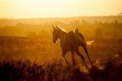 Arabian horse Stock Photos