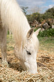 Arabian Horse Grazing Royalty Free Stock Image