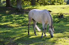 Arabian horse. A grey arabian horse is grazing in the green grass on a sunny day shadowed by trees royalty free stock image