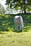 Arabian horse. A grey arabian horse is grazing in the green grass on a sunny day shadowed by trees stock images