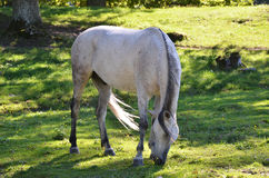 Arabian horse. A grey arabian horse is grazing in the green grass on a sunny day shadowed by trees stock photo