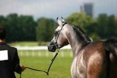 Arabian horse and handler Royalty Free Stock Photo