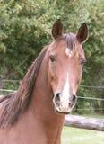 Arabian horse head and neck. Bay Arabian horse head and neck Royalty Free Stock Images
