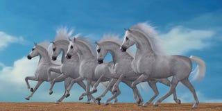 Arabian Horse Herd Royalty Free Stock Photo
