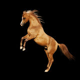 Arabian horse isolated. The arabian horse isolated on black Royalty Free Stock Images