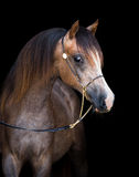 Arabian horse isolated on black Stock Image