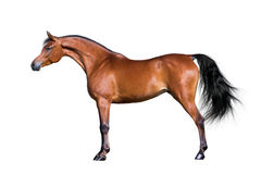 Arabian horse isolated on white. Arabian bay horse standing and isolated on white background Royalty Free Stock Photos